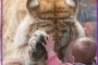 Tiger Bowing Paw to Hand With Little Baby Girl and Facebook Morons.