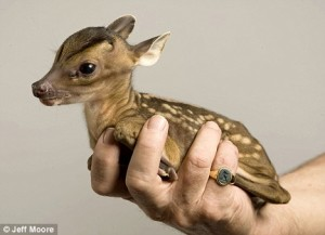 normal fawn if this species