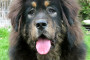 History of the Tibetan Mastiff.